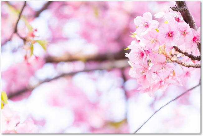 満開の河津桜の花のアップ