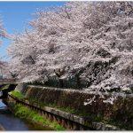 夙川公園の桜ってどう?お花見で混雑を避けるには?