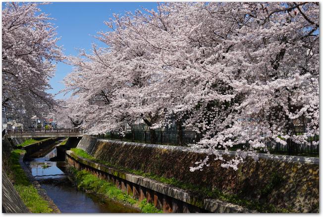 夙川公園の川沿いに咲く桜並木の様子