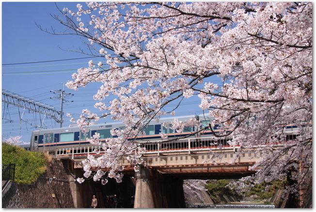 夙川に咲く桜の向こう側をJRの電車が走る様子