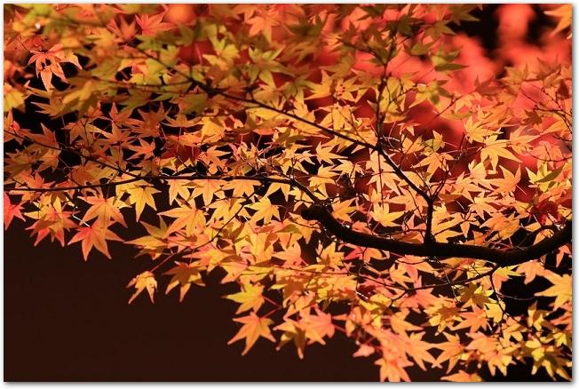 ライトアップされた色づいた紅葉の様子