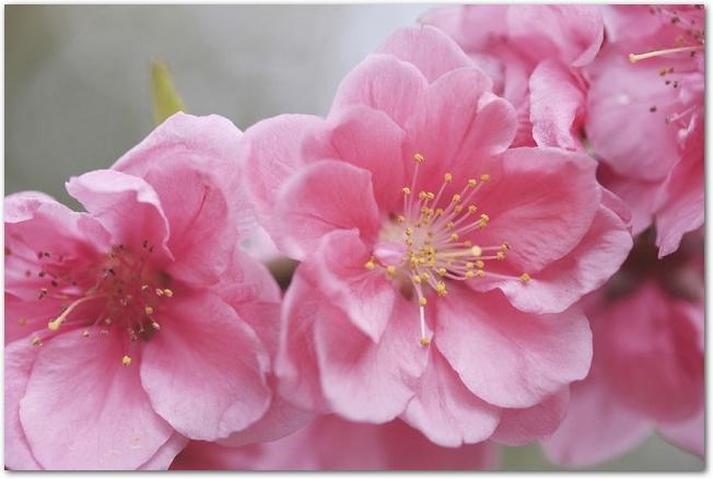 ピンク色の桃の花のアップ